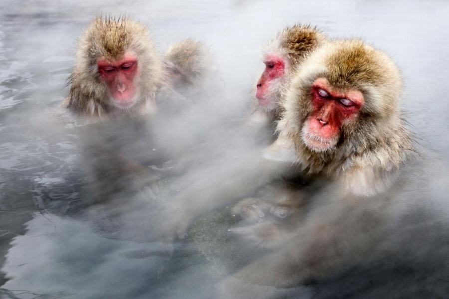 ニホンザル、温泉でストレス軽減、偉いほど長風呂 | ナショナルジオグラフィック日本版サイト