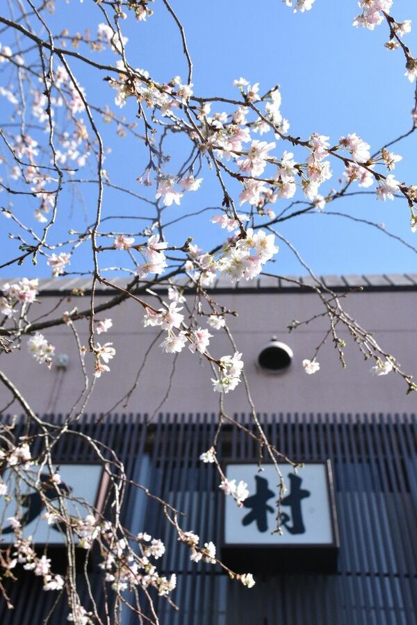 復興告げる十月桜 嬉野温泉旅館「大村屋」で見頃|まちの話題|佐賀新聞ニュース|佐賀新聞LiVE