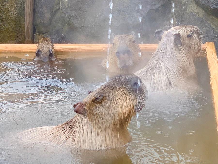 温泉好きで知られるカピバラの「長風呂対決」にほっこり…5つの動物園によるコラボ開催、飼育担当者に聞いた|まいどなニュース