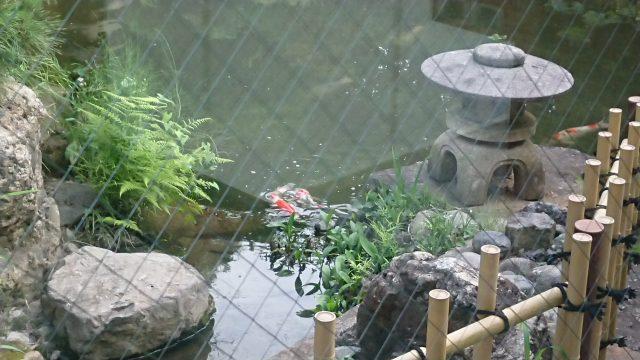 小春日和 中庭の鯉